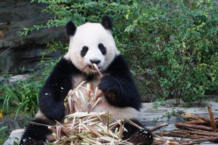 panda-nienke
